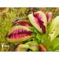 Anemoon venus vliegenval 'Dionaea muscipula 'Anamone'