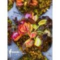 Venus vliegenval  Dionaea muscipula 'Australian cup' 'Starter'