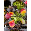 Venus vliegenval  Dionaea muscipula 'Bloody square' 'Starter'