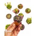 Venus vliegenval Dionaea muscipula 'Collectors Package'