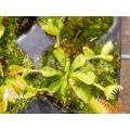Venus vliegenval  Dionaea muscipula 'Double trouble' starter