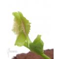 Venus vliegenval 'Dionaea muscipula 'Freaky star' starter'