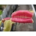 Venus vliegenval 'Dionaea muscipula 'Hot kiss'