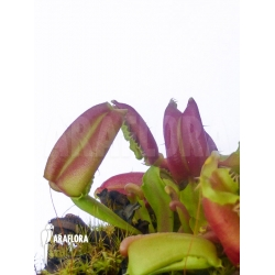 Dionaea muscipula 'Hot kiss'