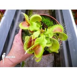 Dionaea muscipula hulk