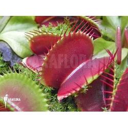 Dionaea muscipula 'Jumbo' 'XL'