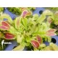 Venus vliegenval Dionaea muscipula 'Korrigans'