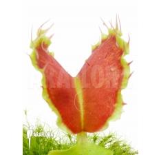 Flytrap (Dionaea muscipula)