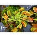 Venus vliegenval 'Dionaea muscipula Pacman starter'