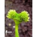Venus vliegenval  Dionaea muscipula 'Pincushion'