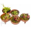 Venus vliegenval Dionaea muscipula 'Rare Starter Package 5'