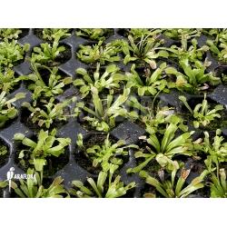 Dionaea muscipula 'Red Green'