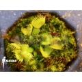 Venus vliegenval Dionaea muscipula 'Spiderman starter'