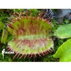 Dionaea muscipula Spotify