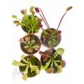 Venus vliegenval Dionaea muscipula 'Starter 5 Package'