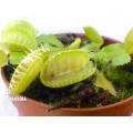 Venus vliegenval Dionaea muscipula 'Triton'