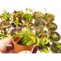 Venus vliegenval Dionaea muscipula 'Venusflytrap 20 Starter Collection Package'