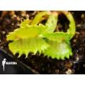 Venus vliegenval 'Dionaea muscipula 'Werewolf'