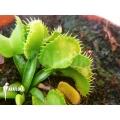 Venus vliegenval Dionaea muscipula 'Werewolf Ara' starter