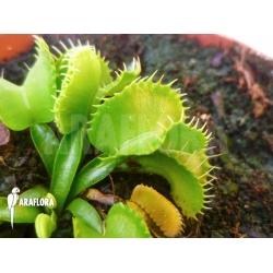 Dionaea muscipula 'Werewolf Ara'