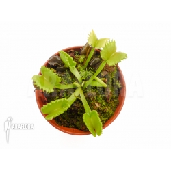 Dionaea muscipula 'Werewolf' 'Starter'