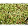 Plant plug 100 x venus vliegenval 'Dionaea muscipula'