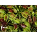 Venus vliegenval 'Starter' 'Dionaea muscipula'