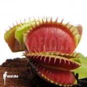Vleesetende planten
