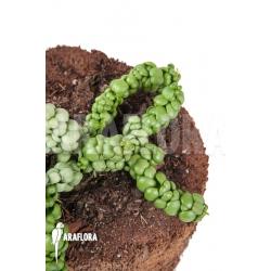"""Dischidia nummularifolia """"Dragon Jade"""""""