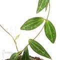 Mierenplant 'Dischidia ovata'