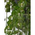 Mierenplant 'Dischidia ruscifolia'