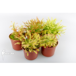 Drosera South Africa Package 5