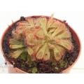 Zonnedauw 'Drosera aliciae'