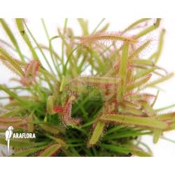Drosera capensis