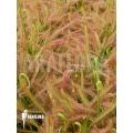 Zonnedauw 'Drosera capensis 'L'