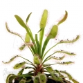 Zonnedauw 'Drosera capensis 'Wide leaf'