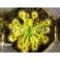 Zonnedauw 'Drosera ericksoniae'