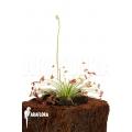 Zonnedauw 'Drosera paradoxa' 'S'