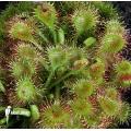 Zonnedauw 'Drosera rotundifolia'