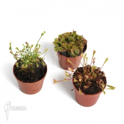 Drosera 'Winterhardy 3 mix'