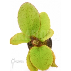 Elaphoglossum crinitum Starter