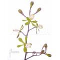 Orchidee 'Epidendrum floribundrum'