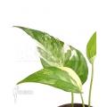 Epipremnum pinnatum variegated