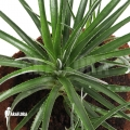 Bromelia 'Fasciculaire bicolor'