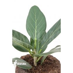 Ficus benghalensis Audrey 'M'