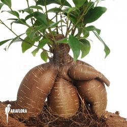 Ficus microcarpa 'Ginseng' (M)