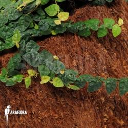 Ficus pumila var. minuta 'Species colombia'