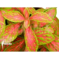 Fittonia x red diamant