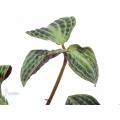Geogenanthus undatus