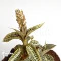 Orchidee 'Goodyera pusilla'